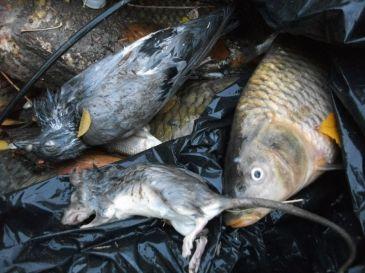 Investigan la aparici n de peces y animales muertos en el for Vivero el estanque