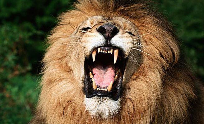 Apareamiento entre leones Animales en Video